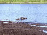 Вкачь несущийся крокодил / Бразилия
