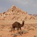 Облезлый верблюд / Иордания