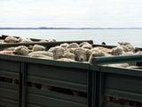 Упаковка овец / Чили