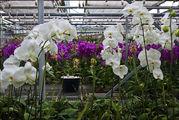 Выращивание фаленопсисов / Нидерланды