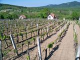 Вид на виноградник / Венгрия