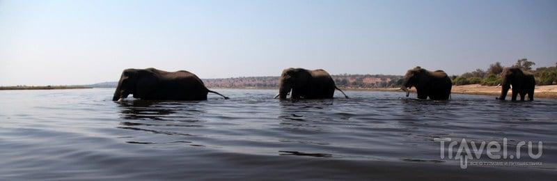Слоны переплывают реку / Замбия