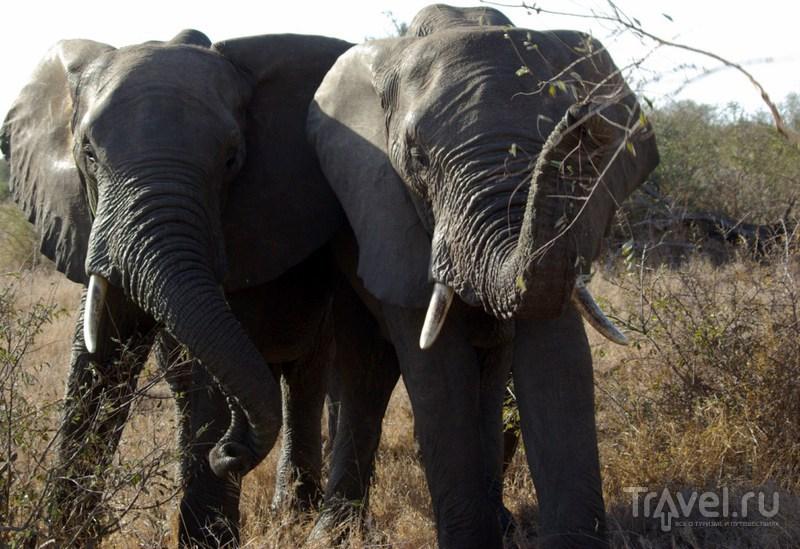Слоны парка Крюгер / Замбия
