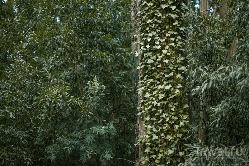 Эвкалиптовые деревья / Португалия