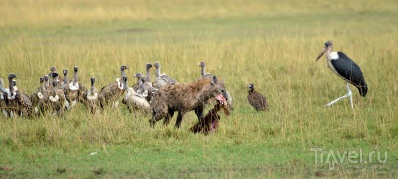 Марабу и грифы / Кения