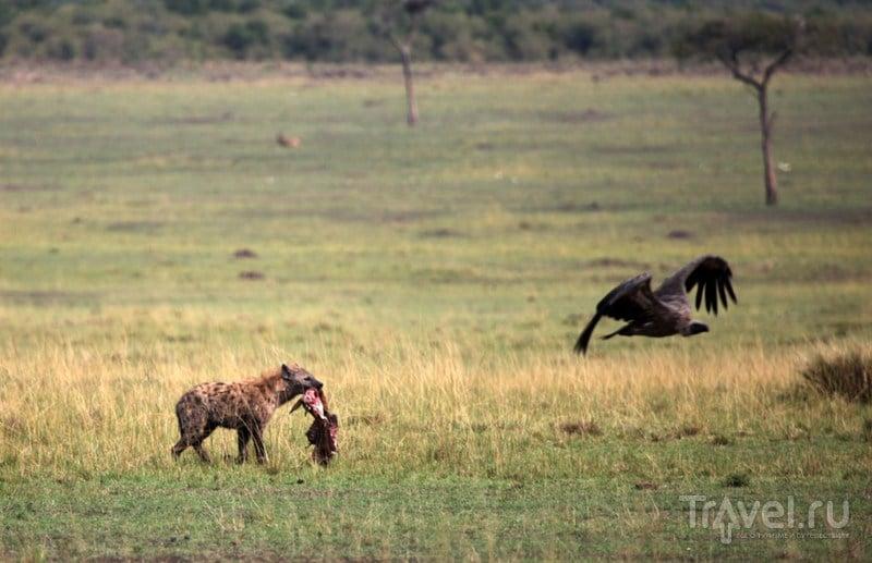 Гриф на взлете / Кения