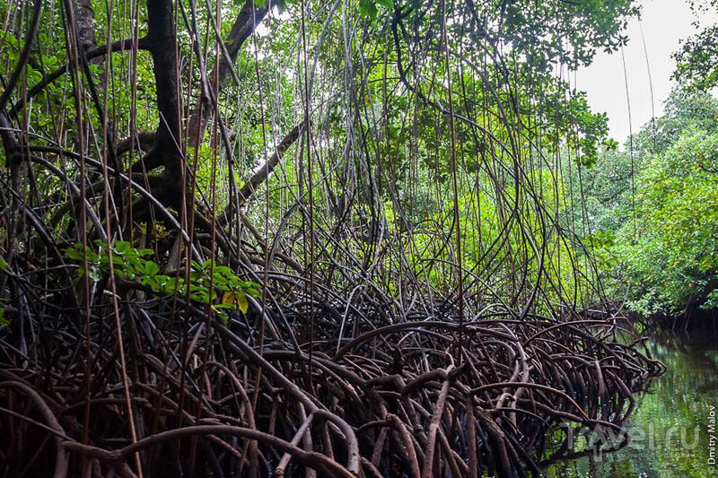 Мангровые заросли на острове Косрае, Микронезия / Фото из Микронезии