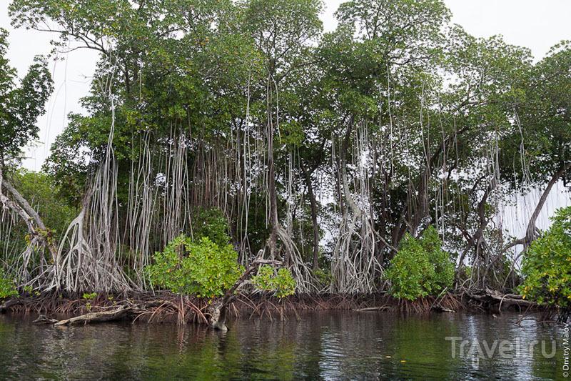Мангровые деревья на острове Косрае, Микронезия / Фото из Микронезии