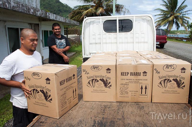 Транспортировка аквариумных животных на острове Косрае, Микронезия / Фото из Микронезии