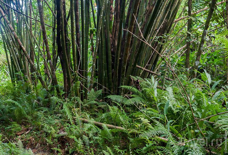 Бамбук на острове Косрае, Микронезия / Фото из Микронезии