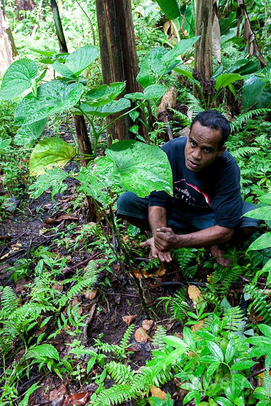 Куст piper methysticum на острове Косрае, Микронезия / Фото из Микронезии