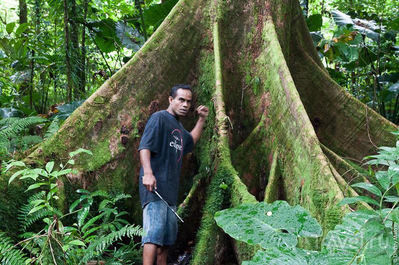 Дерево terminalia carolinensis на острове Косрае, Микронезия / Фото из Микронезии