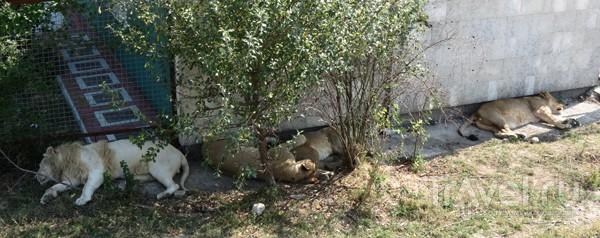 Львы отдыхают у стены / Украина