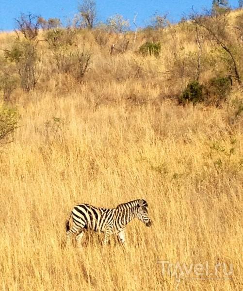 Зебра в зарослях / ЮАР