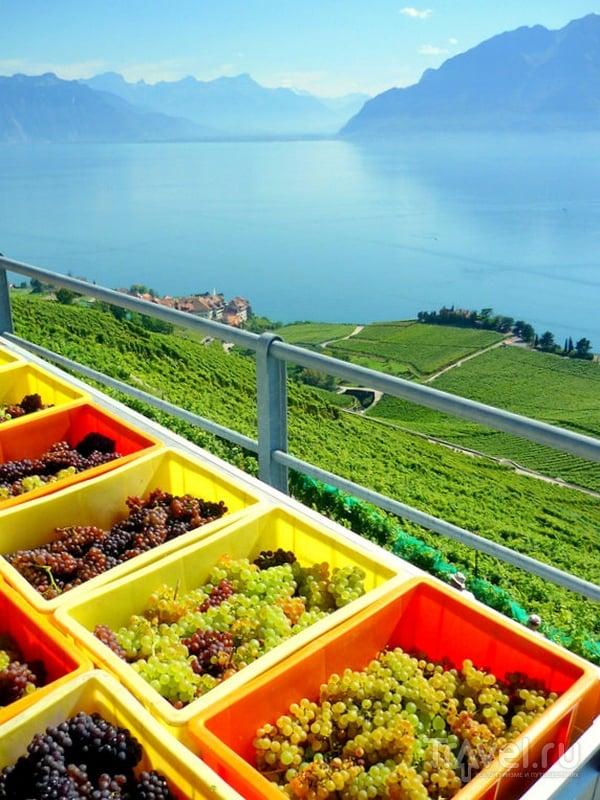 Виноград, выращиваемый на террасах Лаво / Швейцария