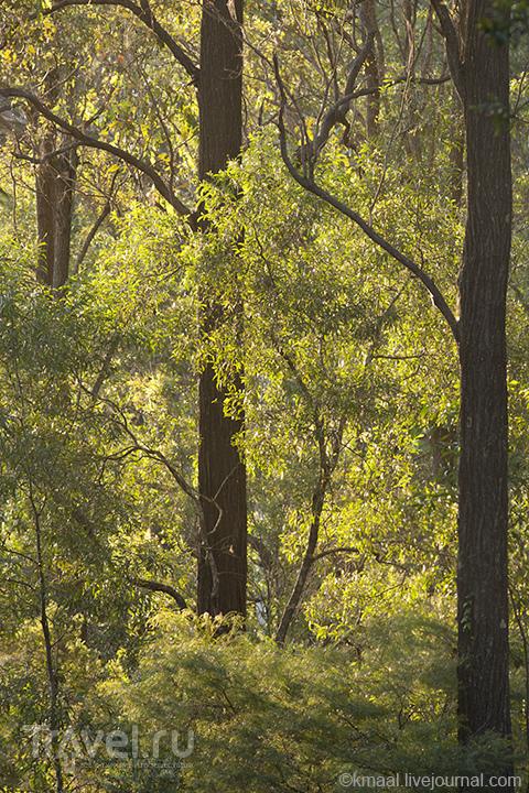 Эвкалиптовый лес вокруг Коала-центра / Австралия