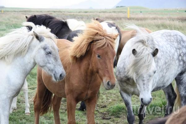 Исландские пони / Исландия