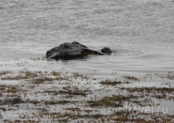 Тюлени. Вид в бинокль / Исландия