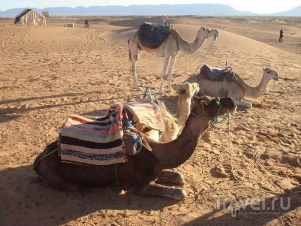 Верблюды для катания / Марокко