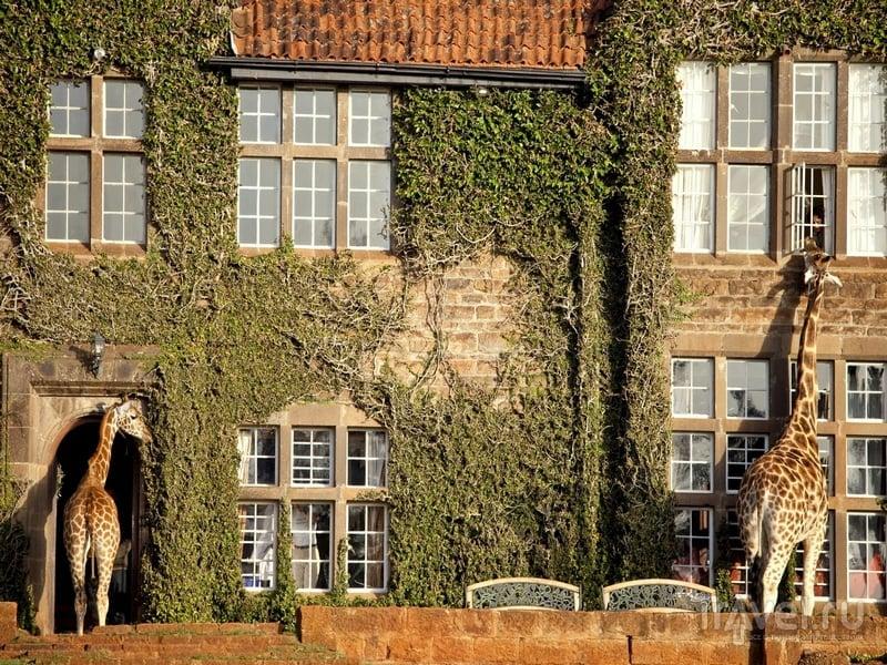 Заглядывающие в окна отеля-бутика Giraffe Manor, Кения / Кения