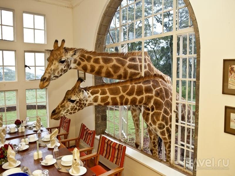 Жирафы, завтракающие с постояльцами, в кенийском отеле Giraffe Manor / Кения