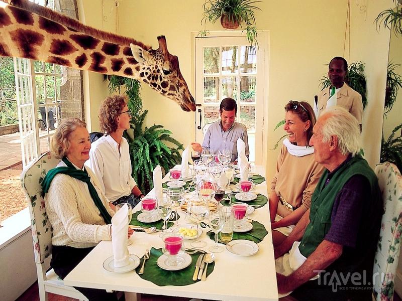 Дружелюбные жирафы в отеле Giraffe Manor, Кения / Кения