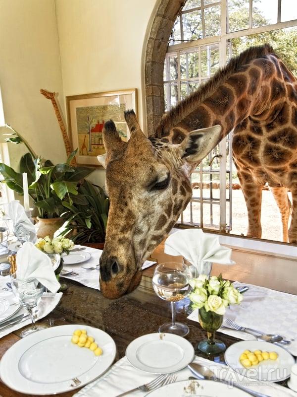 Завтрак в компании жирафов в кенийском отеле Giraffe Manor / Кения