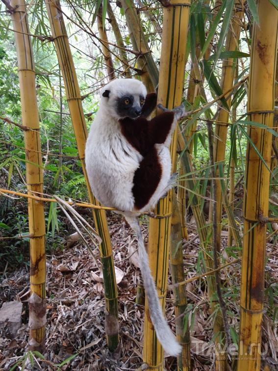 Мадагаскар. Лемуры / Мадагаскар