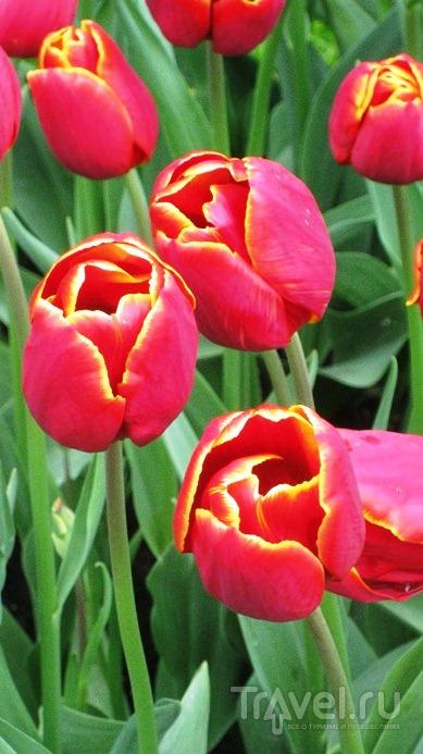 Голландия: королевский парк цветов Кекенхоф / Нидерланды