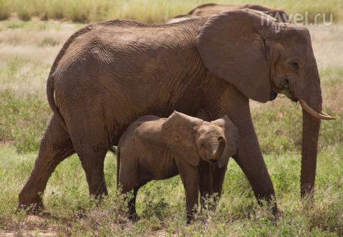 Национальные парки Кении: Самбуру, Абердер и Тсаво / Фото из Кении