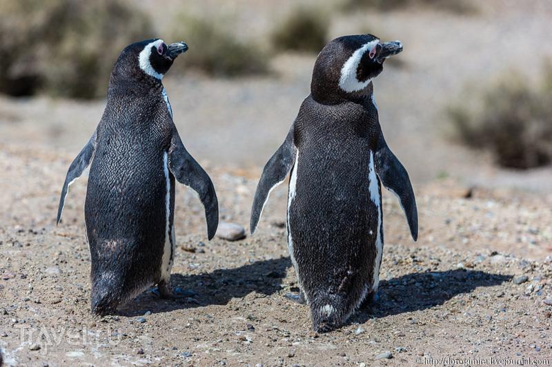 Сплошное пингвинячество / Аргентина