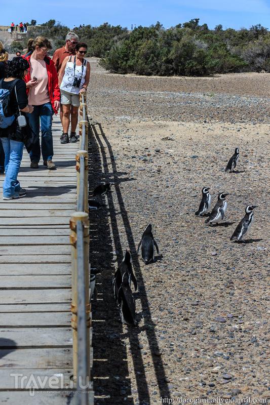 Сплошное пингвинячество - 2 / Аргентина
