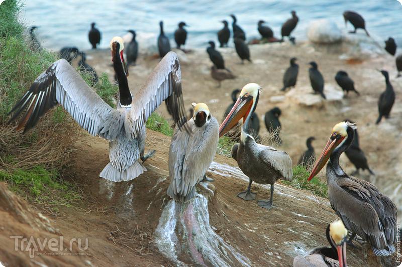 Кровожадные калифорнийские пеликаны / США