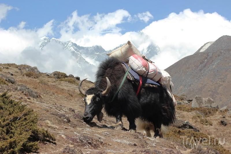 Як / Фото из Непала