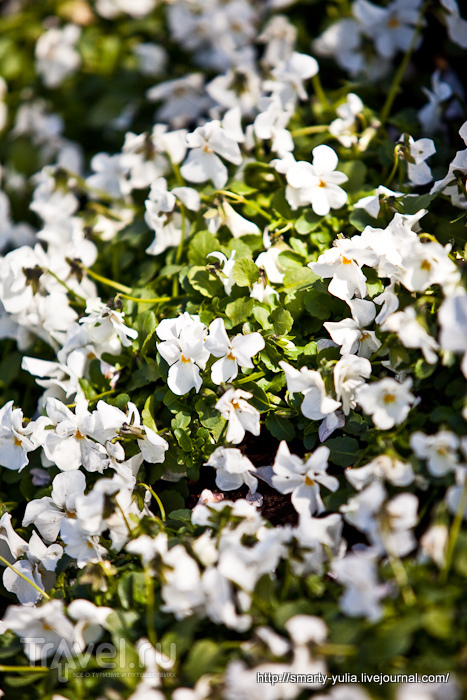 Нетюльпановый Кекенхоф в белом! / Фото из Нидерландов
