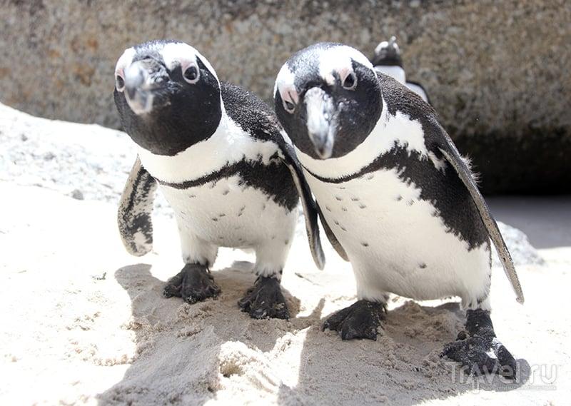 """Операция """"Внедрение"""" (кейптаунская колония африканских пингвинов) / ЮАР"""