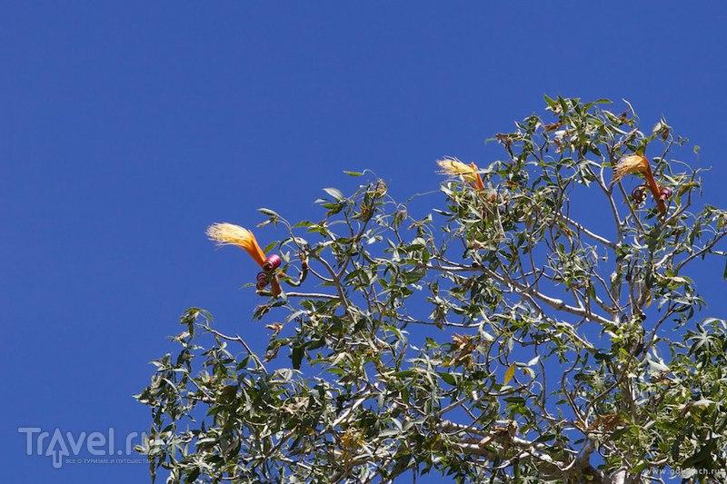 Мадагаскар: лес баобабов недалеко от Тулеара в местечке Ифати / Фото с Мадагаскара