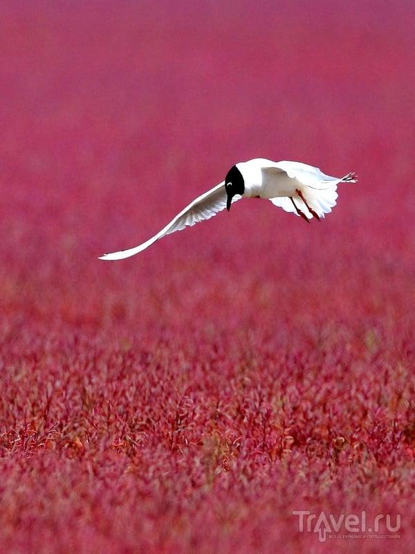 Красный берег - одно из лучших в северном Китае мест для наблюдения за десятками видов птиц / Китай