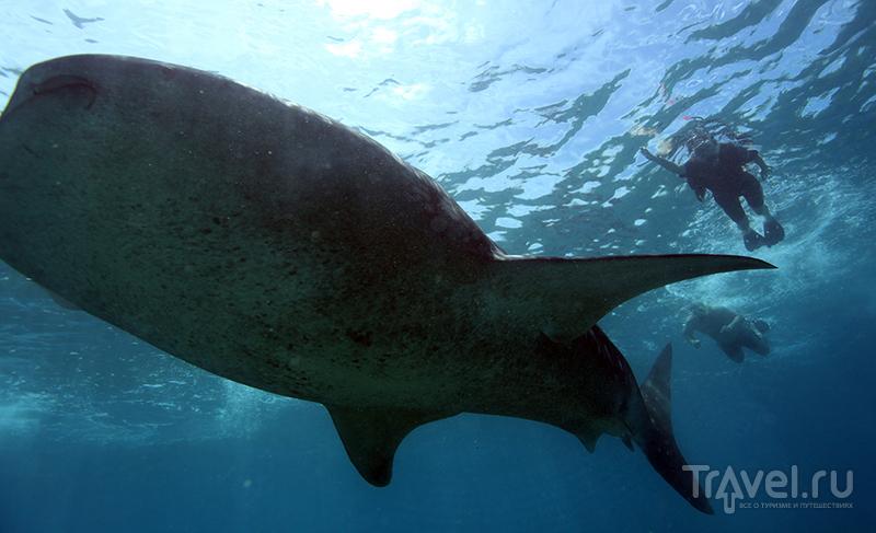 Погоня за китовой акулой / Мальдивы