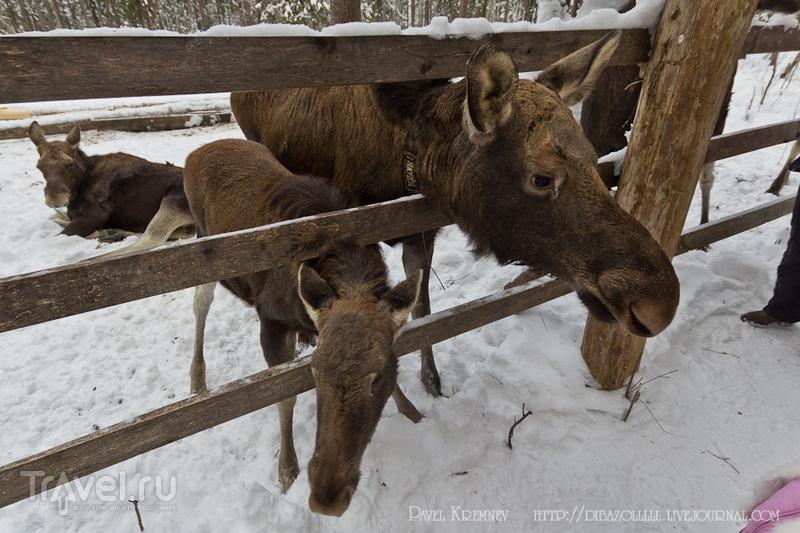 Сумароково - Костромская лосиная ферма / Фото из России