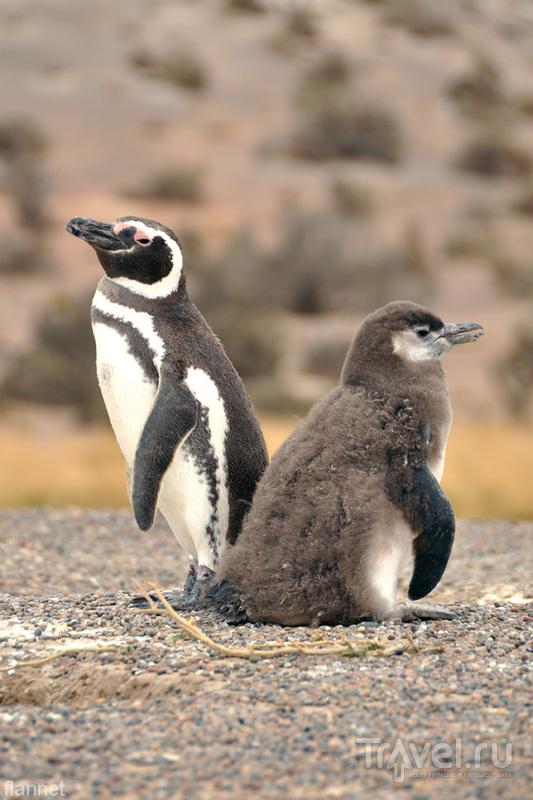 Пингвины Пунта-Томбо / Фото из Аргентины