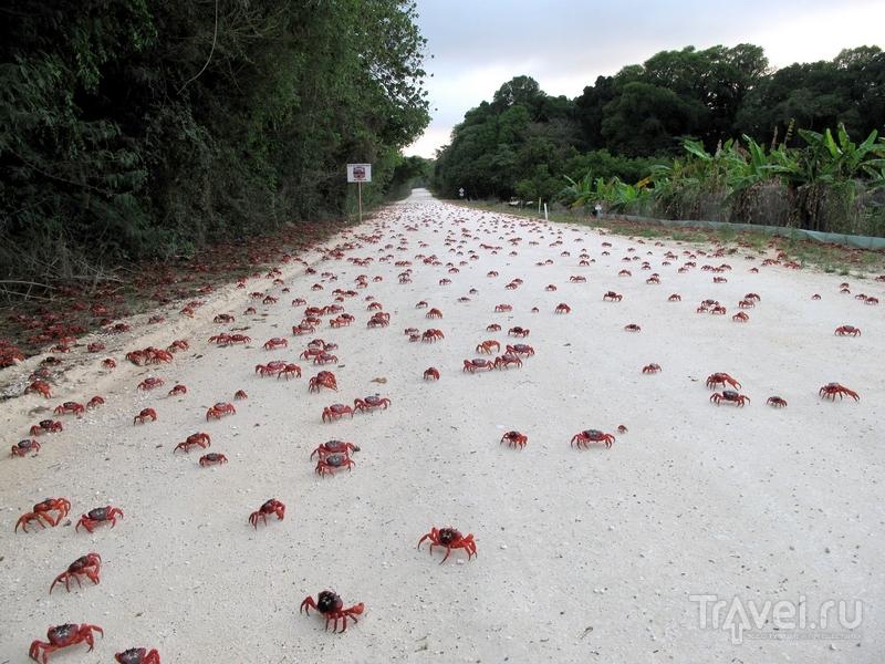 Процесс миграции красных крабов на острове Рождества в среднем занимает 18 дней / Австралия