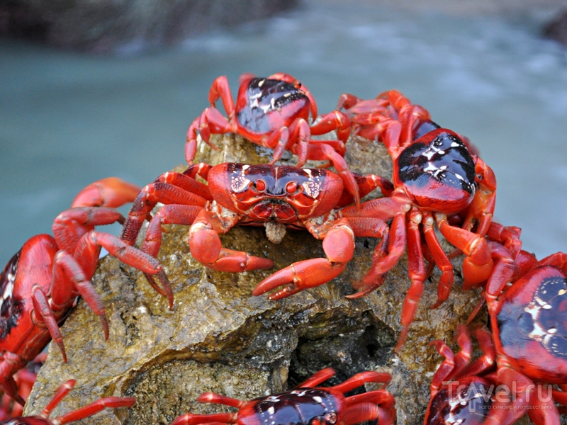 Красные крабы на австралийском острове Рождества / Австралия