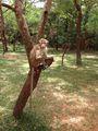 Обезьяна на дереве / Шри-Ланка