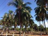 Кокосовая плантация / Шри-Ланка