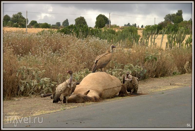 Гриф белобокий африканский (White-backed Vulture, Pseudogyps africanus, Gyps africanus) в Эфиопии / Фото из Эфиопии