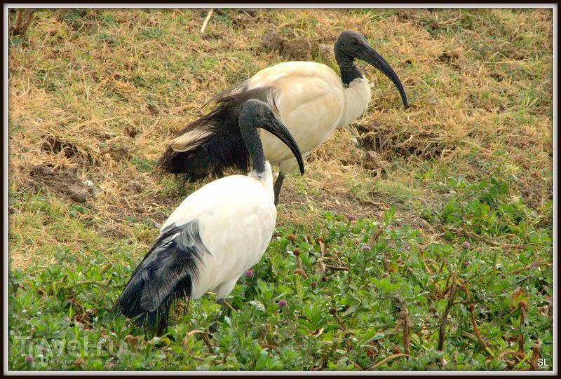 Священный ибис (Threskiornis aethiopica) в Эфиопии / Фото из Эфиопии