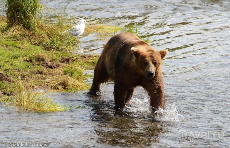 Дикие медведи Катмаи и полет обратно в Анкоридж / Фото из США