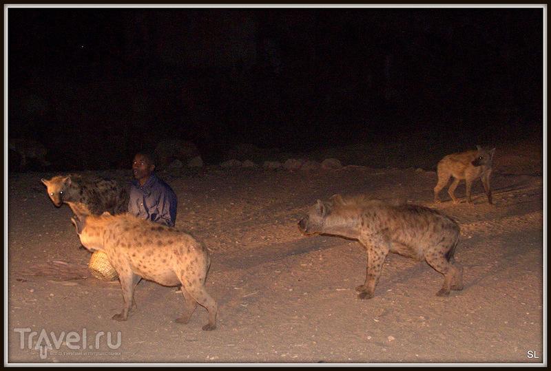 Кормление гиен. Харер, Эфиопия / Эфиопия