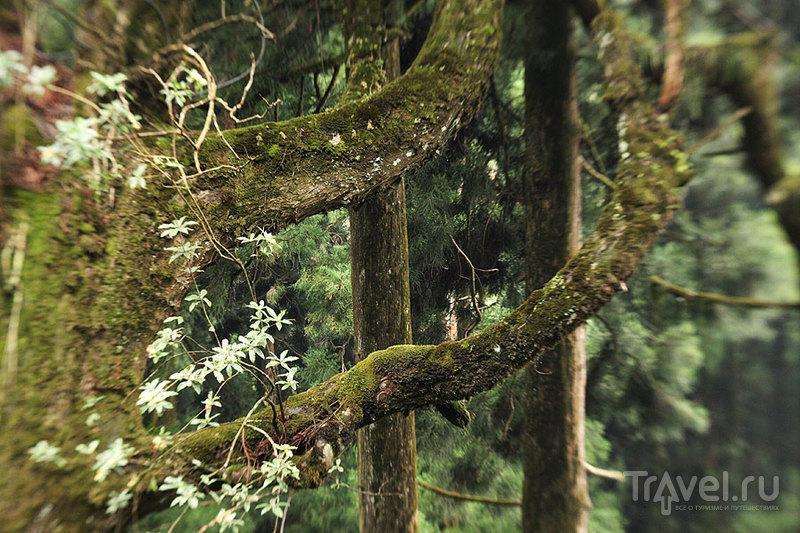 Во влажном климате Дарджилинга прекрасно себя чувствует мягкий пушистый мох / Фото из Индии